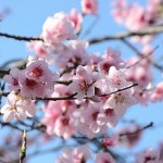 ひな祭り!桃の花を飾るステキな意味とは?