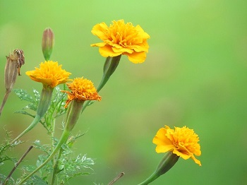 carnation (5)