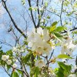 仁和寺の御室桜!遅咲きの桜の特徴は?見ごろは?