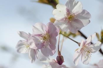 sakura (2)