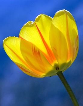 tulip (3)