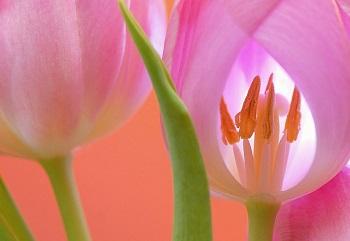 tulip (4)