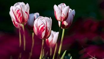 tulip (6)