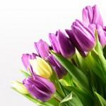 チューリップの花言葉!色別でチェック!