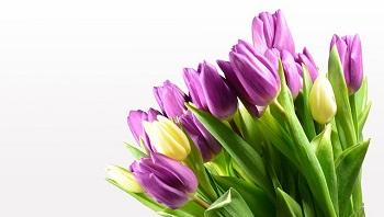 tulip (8)