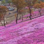 北海道の芝桜!名所は?時期は?