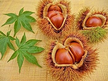chestnut (2)