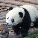 パンダが白黒なのはなぜ?理由は・・・