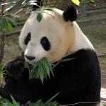 パンダの食べ物!笹だけなの?理由は?